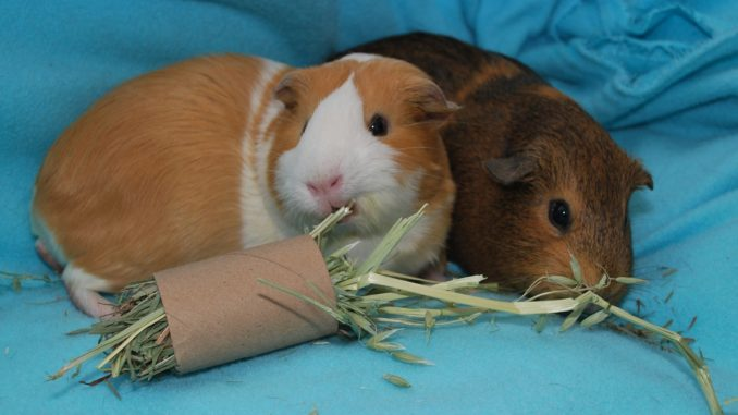 Свинки едят травку из втулки для бумаги