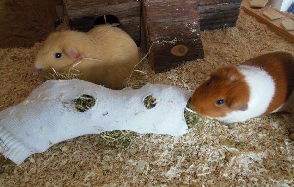 Морские свинки с носком