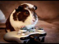 Свинка играет