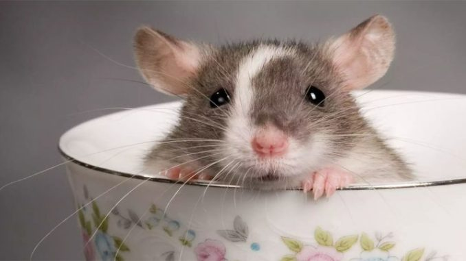 Крыса в миске