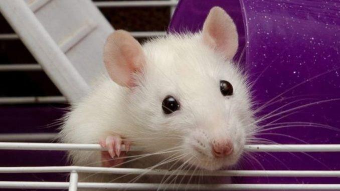 Крыса смотрит