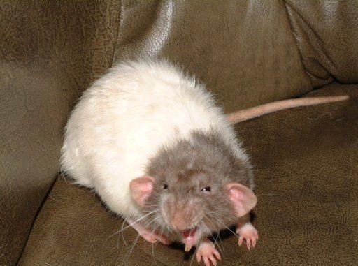 Крыса шипит