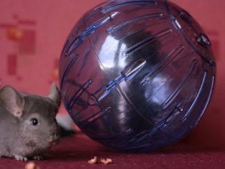 Шиншилла возле шара