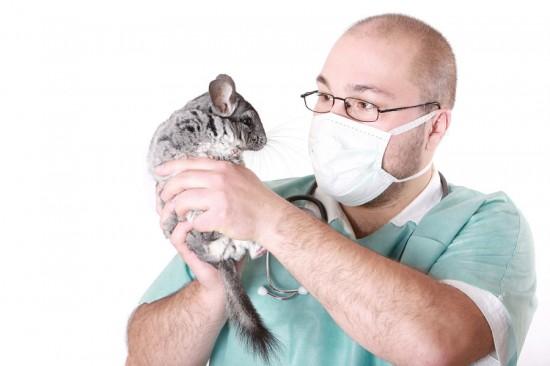 Шиншилла у ветеринара
