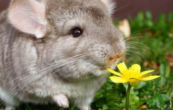 Шиншилла и цветок