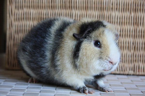 Морская свинка породы Тедди