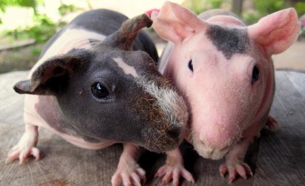 Морские свинки породы скинни и болдуин