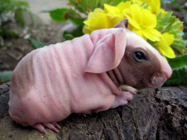 Лысая морская свинка Болдуин