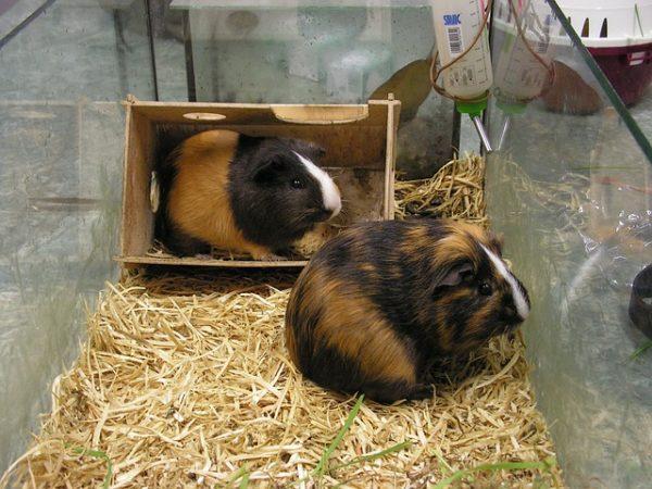 Морские свинки в аквариуме