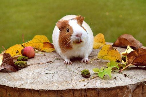 Морская свинка и осень