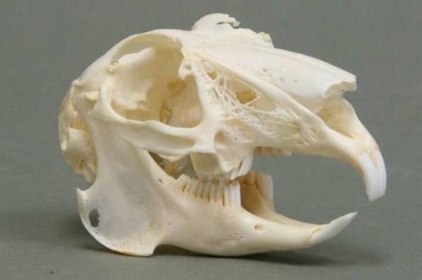 Череп морской свинки
