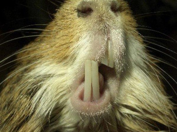 Зубы сточены под углом у морской свинки