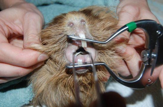 Осмотр ротовой полости морской свинки у ветеринара