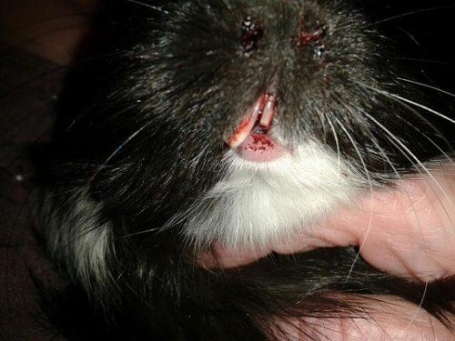 Травмы зубов у морской свинки