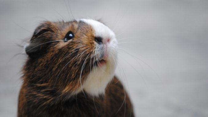 Испуганная свинка