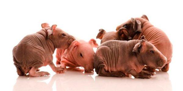 Морские свинки Болдуин