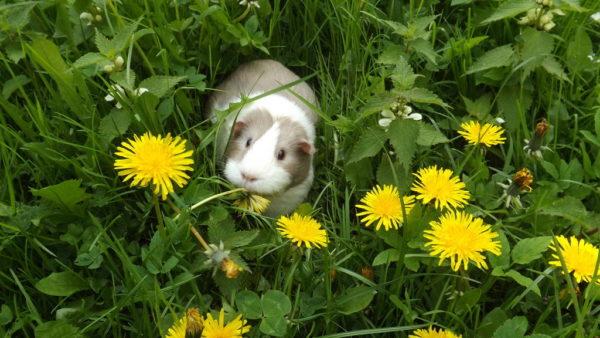 Морская свинка в траве с одуванчиками