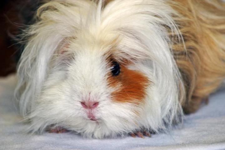 Волосатая мохнатая свинка