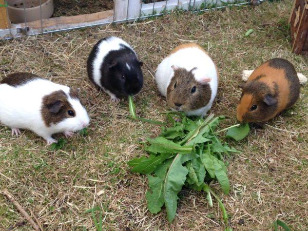 Морские свинки едят листья одуванчика