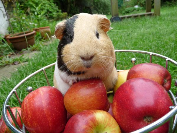 Морская свинка и миска с яблоками