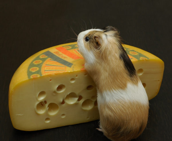 Морская свинка и сыр