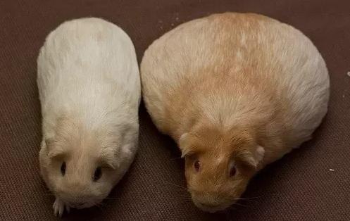 Как выглядит беременная морская свинка