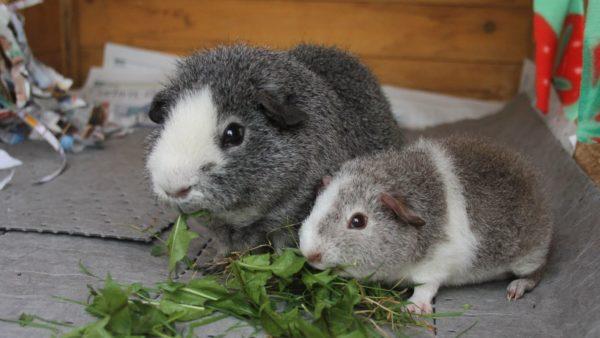 Морские свинки мама и ее малыш кушают траву