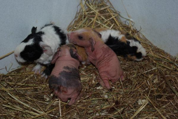 Новорожденные малыши морской свинки скинни