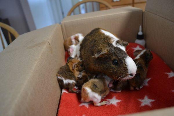 Морская свинка и ее поросята в коробке