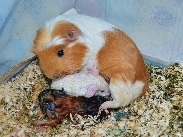 Новорожденные малыши морской свинки с мамой
