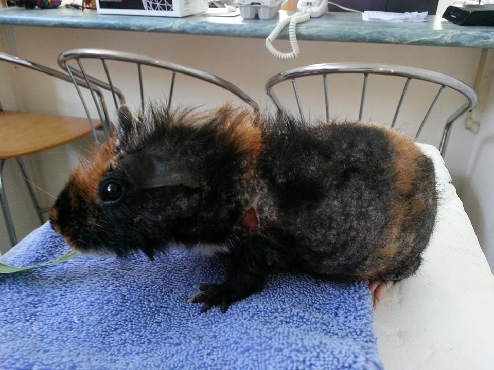 Заболевание морской свинки меховым клещем