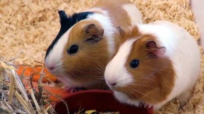 Две морские свинки кушают корм