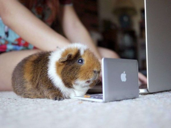 Морская свинка тедди за ноутбуком