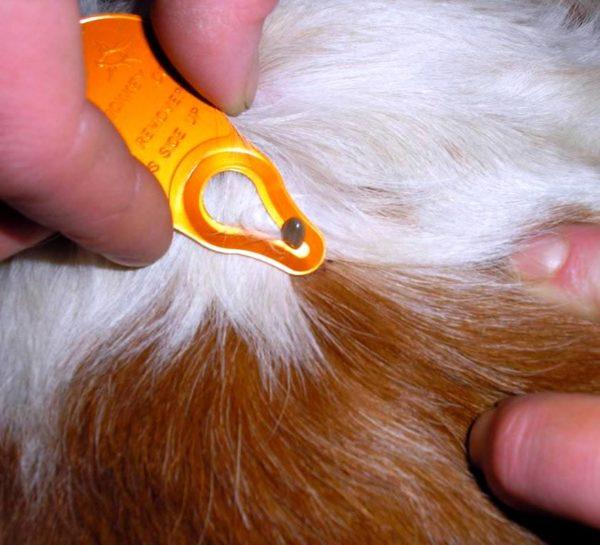 Заболевание морской свинки иксодовый клещом