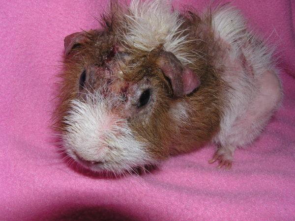 Заболевание морской свинки триксакарозом
