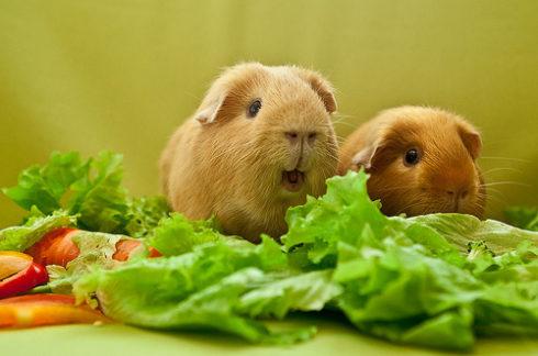 Морские свинки рады еде