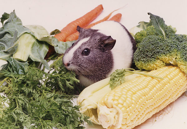Морская свинка и разные овощи
