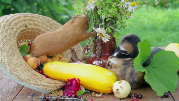 Морские свинки едят овощи