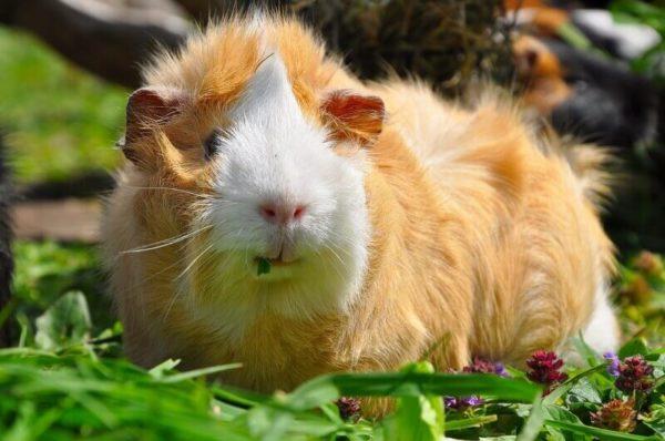 Морская свинка жует траву