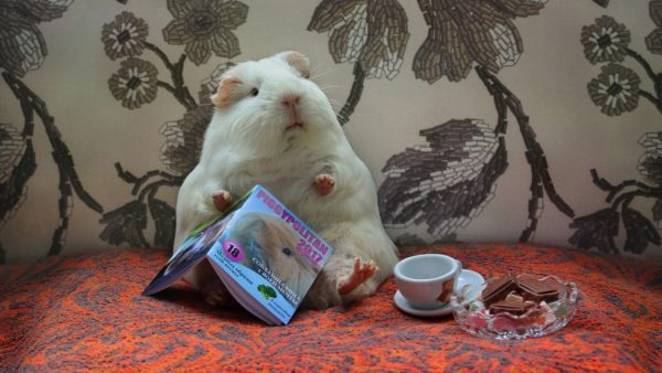 Морская свинка читает книжку за чашечкой чая