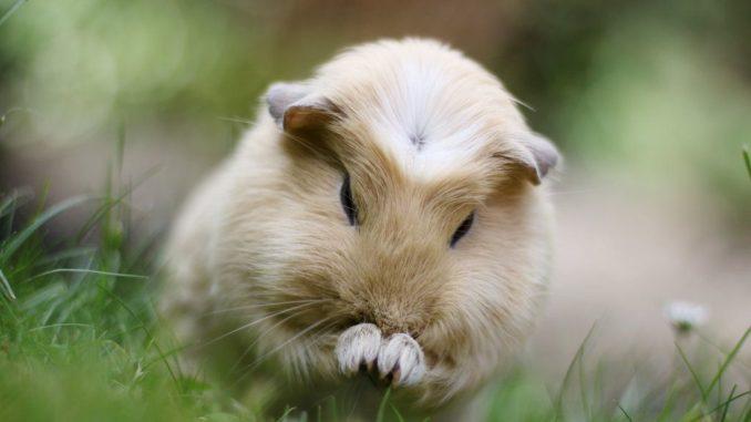 Морская свинка чешет нос