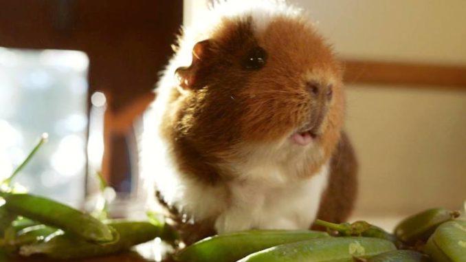Морская свинка ест зеленый горошек