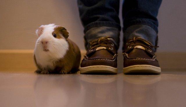 Морская свинка и ботинки
