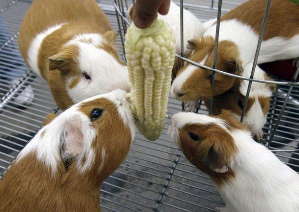 Морские свинки едят молодую кукурузу