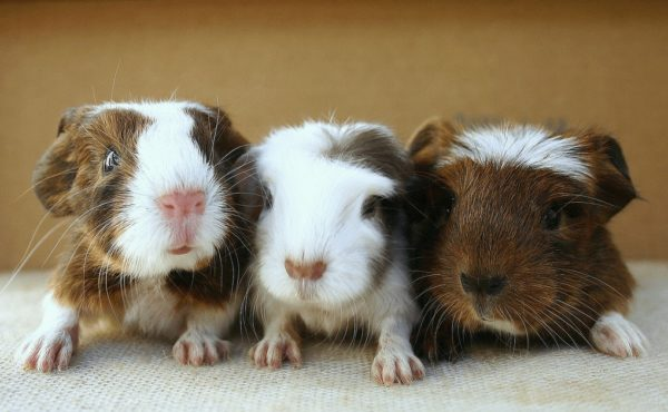 Новорожденные малыши морской свинки