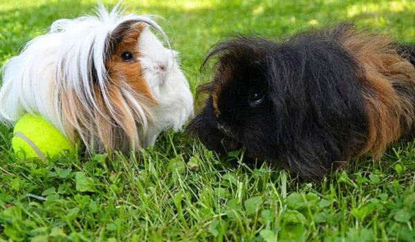 Две морские свинки играют в мяч