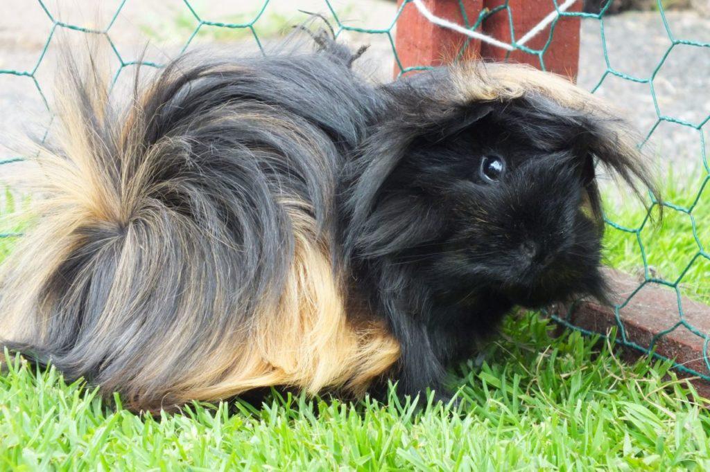 Перуанская (ангорская) морская свинка