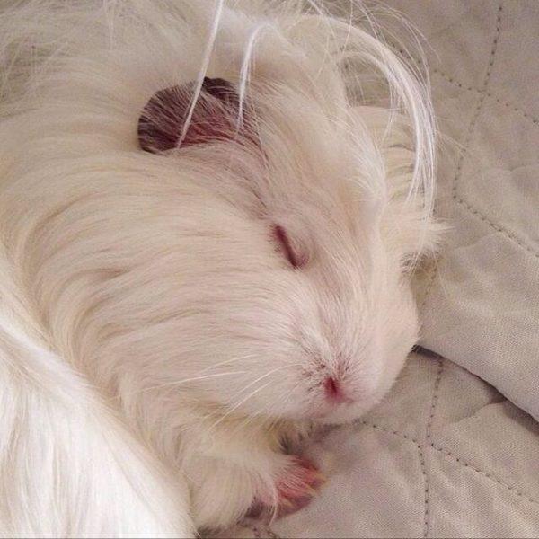 Морская свинка сладко спит