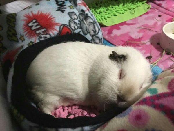 Морская свинка спит