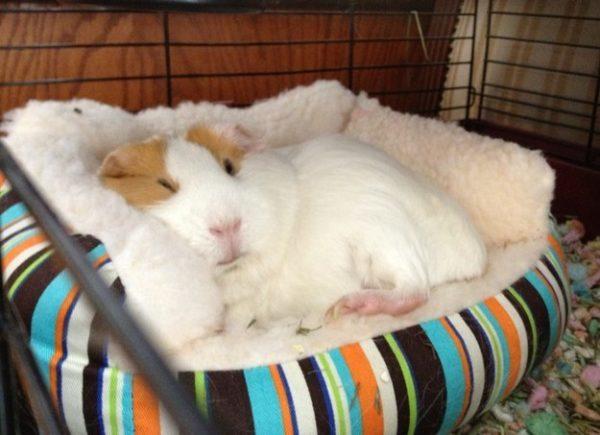 Морская свинка спит в лежаке